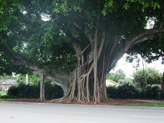 Alcazar Resort: A really cool looking tree