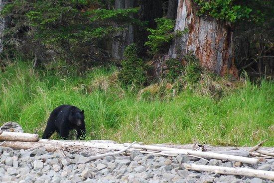 Black bear foraging along the shoreline of graham island for Langara fishing lodge