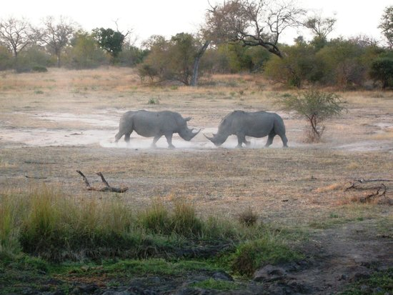Londolozi Private Game Reserve: Rhinos