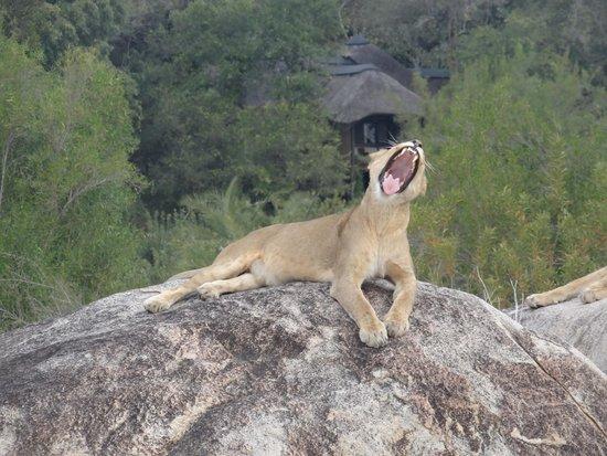 Londolozi Private Game Reserve: Lion Yawn