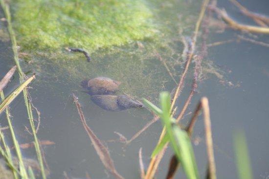 Diamond Jubilee Wood: Pond snails below the water.