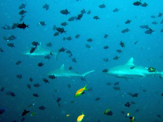 Veligandu Island Resort & Spa : Sharks at Madivaru corner
