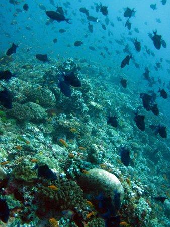 Veligandu Island Resort & Spa : Loads of fish at Madivaru corner