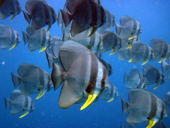 Veligandu Island Resort & Spa : Batfish followed us at most of the dive sites