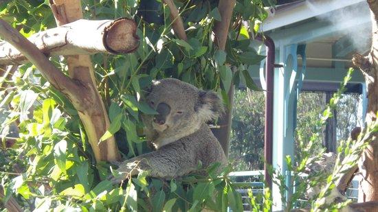 San Diego Zoo : Koala Close-up