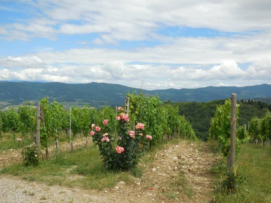 Tuscan Wine Tours with Angie : Vineyard