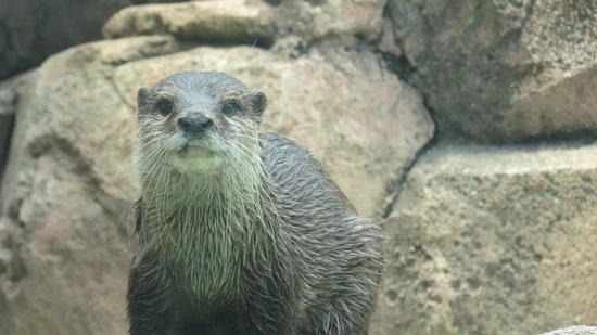 Kobe City Oji Zoo: カワウソ