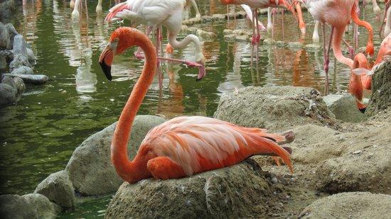 Kobe City Oji Zoo: 抱卵するフラミンゴ