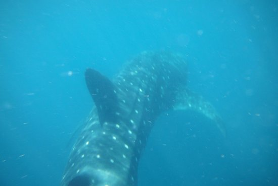 First Encounter With A Whale Shark Picture Of Cancun Whale Shark Tours Cancun Tripadvisor