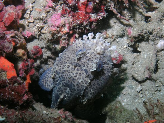 ScubaTech : toad/frog fish