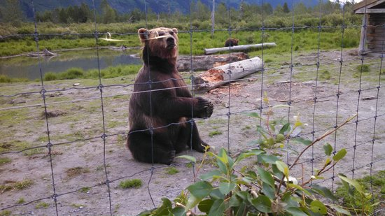 Alaska Wildlife Conservation Center: Waiting for his Blueberries!