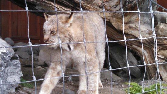 Alaska Wildlife Conservation Center: Lynx