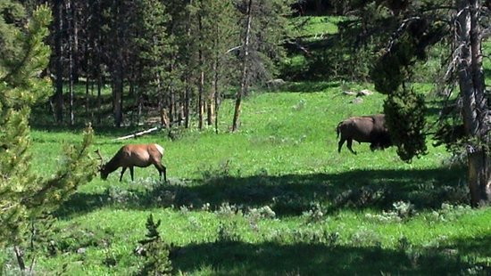 Buffalo Bus Day Tours: Elk and bison bulls at one stop!