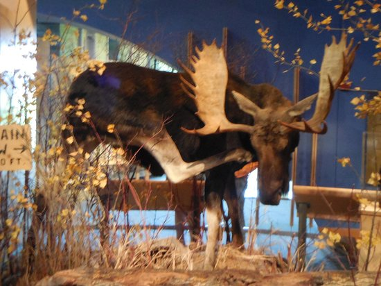 Buffalo Bill Historical Center : Moose