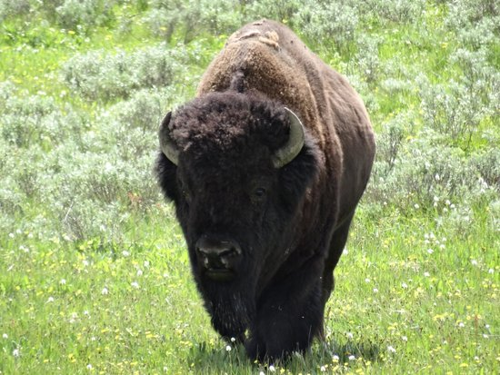 Wildlife Expeditions of Teton Science Schools: Bison in Yellowstone