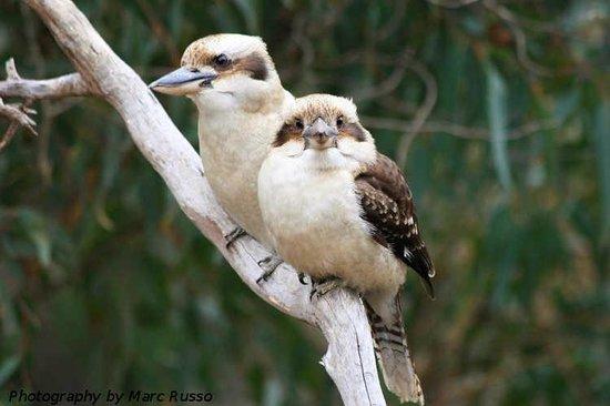 Hamelin Bay Holiday Park: Kookaburras Hamelin Bay - Marc Russo Photography