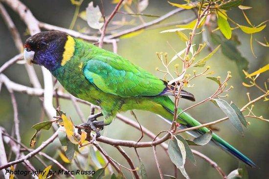 Hamelin Bay Holiday Park: Parrot Hamelin Bay - Marc Russo Photography
