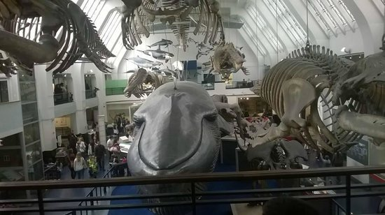 Life size whale picture of natural history museum Dinosaur museum ohio