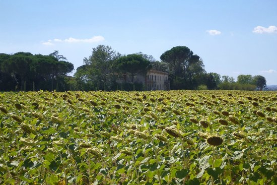 Cortona Resort - Le Terre dei Cavalieri: Campo de girassóis