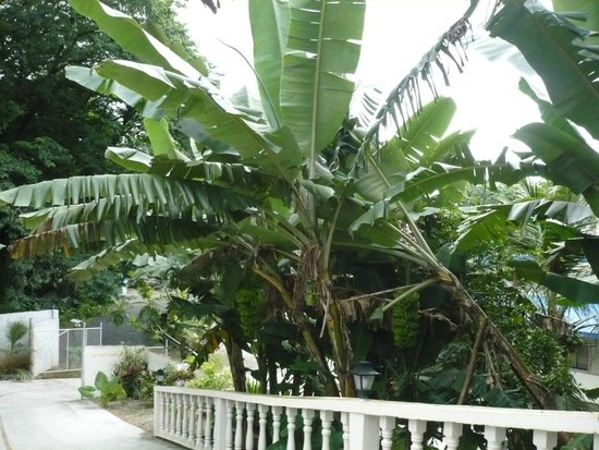 Palikir, اتحاد دول ميكرونيزيا: Free bananas