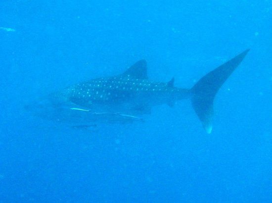 Whitetip Divers: Whale Shark