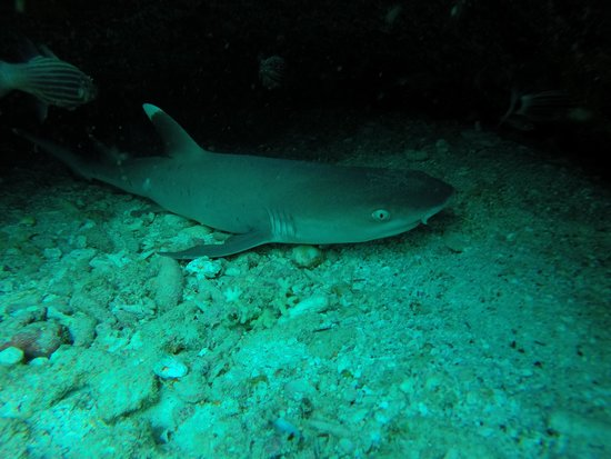 Whitetip Divers: WhiteTip