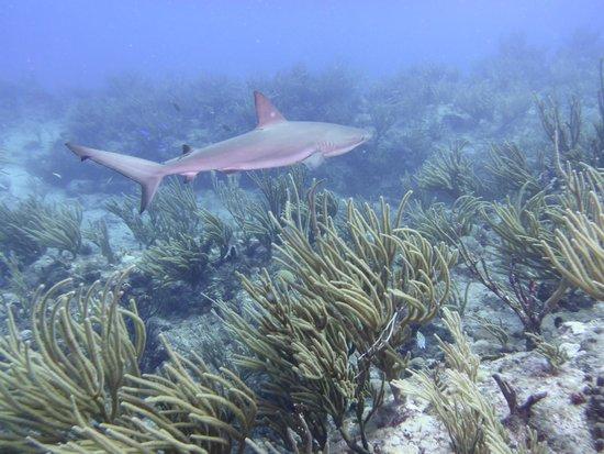 Scuba Fun Dive Center: Reef Shark