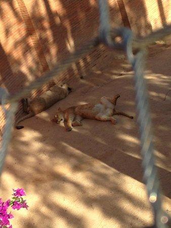 Lisbon Zoo (Jardim Zoologico de Lisboa): львицы
