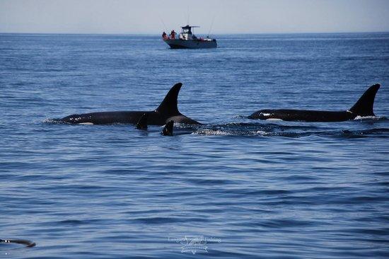 Killer whales passing near the fishing grounds of langara for Langara fishing lodge