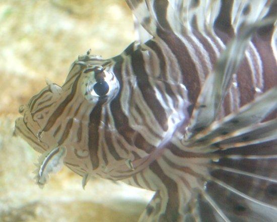 Oceanarium: Lionfish