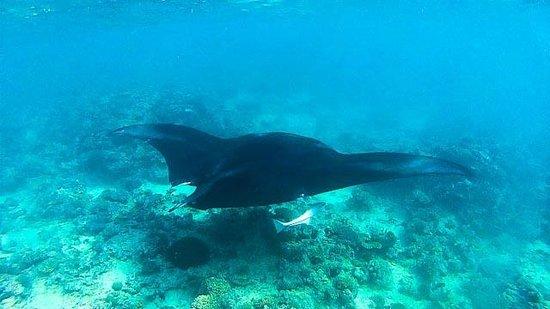 Ulunikoro Marine Conservation Area: Manta Ray