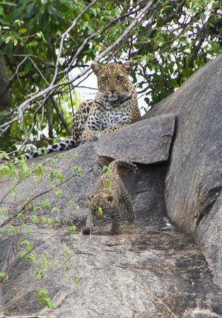 Ubuntu Camp, Asilia Africa: Mum and baby leopard