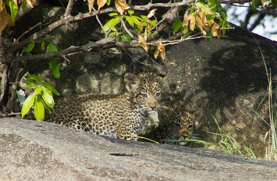 Ubuntu Camp, Asilia Africa: Baby leopard