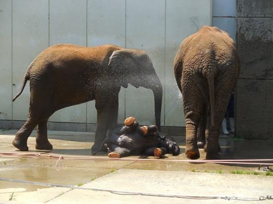 Ehime Tobe Zoo: 飼育員のシャワーで遊ぶゾウの親子