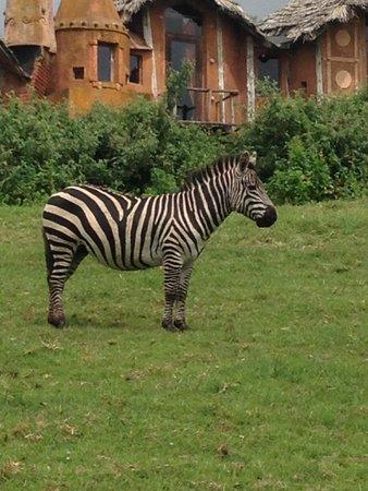 Ngorongoro Serena Safari Lodge: Waking up with zebras in the garden