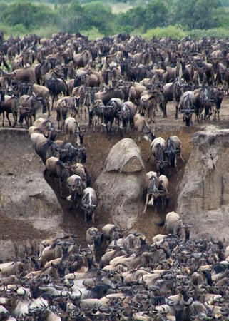 Olakira Camp, Asilia Africa: Wildebeest Entering the River
