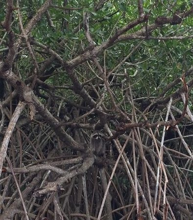 Captain Jack's Airboat Tours: Spot the racoon!