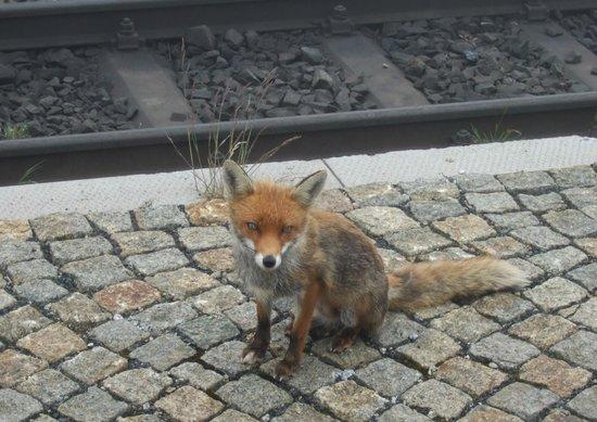Zugfahrt zum Brocken: Hungry fox on summit