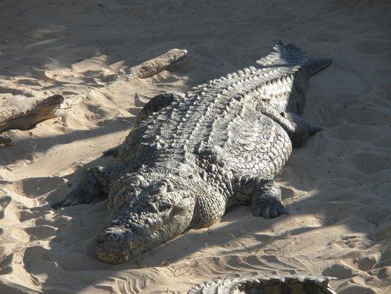 Krokodilfarm Animalia: un  crocodile du nil