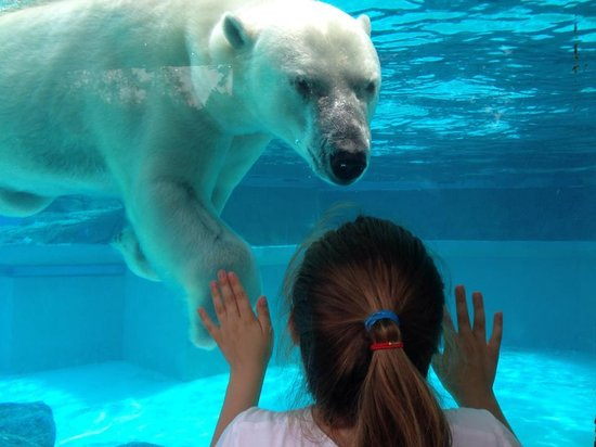 Lincoln Park Zoo : Polar Bear up close
