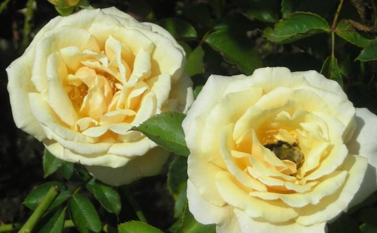 Fuller Gardens: Visitor photo - yellow roses aglow in color!