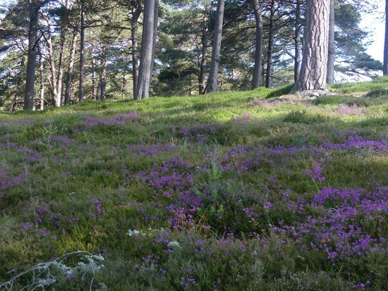 Linn O' Dee: Heather and Scots Pine forest - perfect