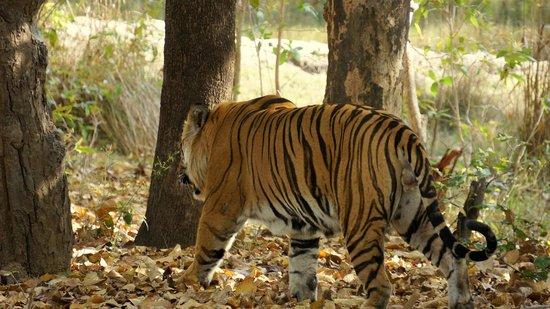 Mahua Kothi: Tiger