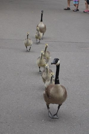 Denver Zoo: Family of Geese out for a stroll