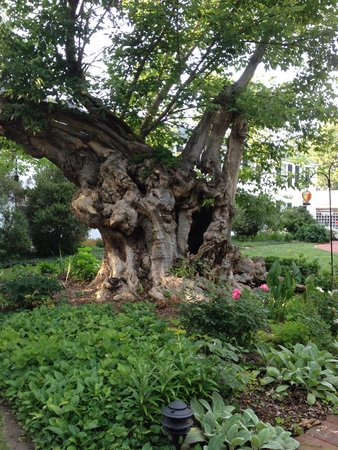 Essex Inn: 450 year old basswood tree