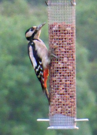 Canaston Oaks: Greater Spotted Woodpecker at rear.