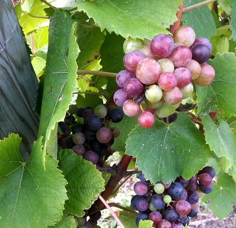 L. Mawby Vineyards: Our grapes showing veraison.