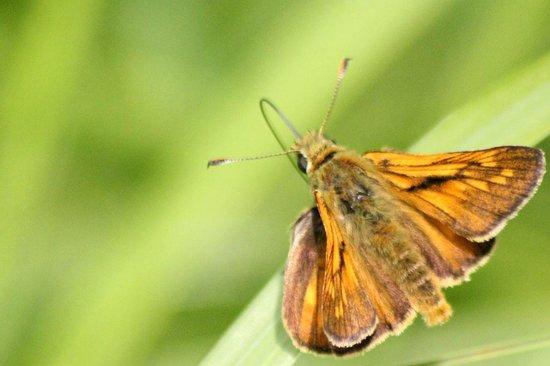 Wicken Fen National Nature Reserve: Small Skipper