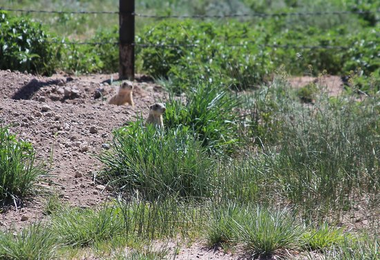 Valles Caldera National Preserve: Prarie Dogs at Staging area 1