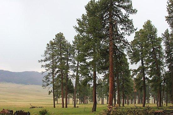 Valles Caldera National Preserve: Old Trees in Valles Caldera